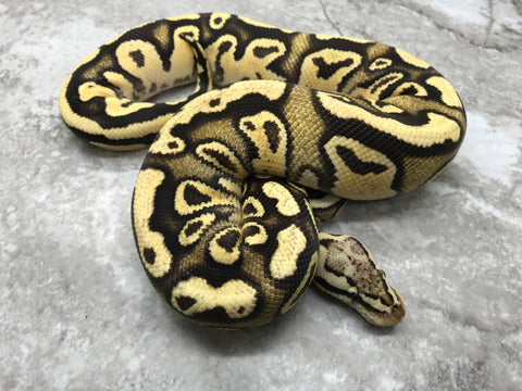 Firefly Orange Dream Het Clown