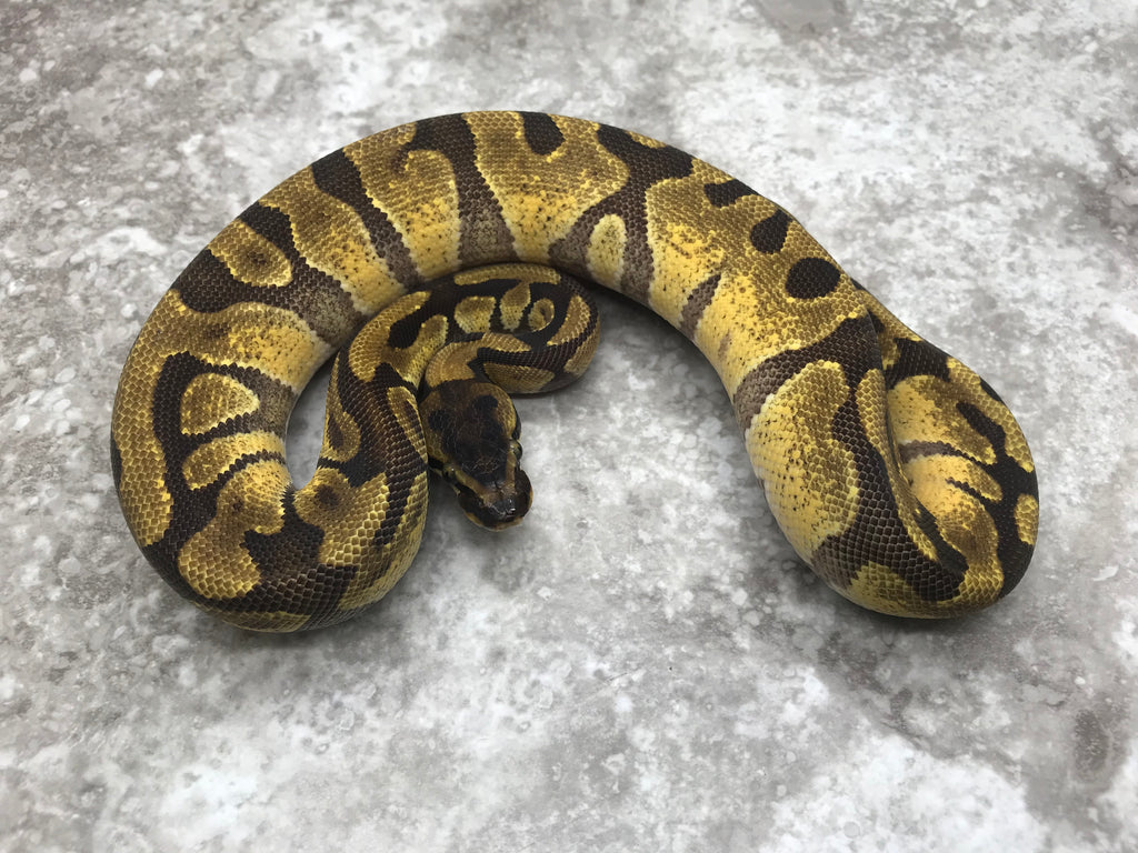 Super Enchi poss het Desert Ghost