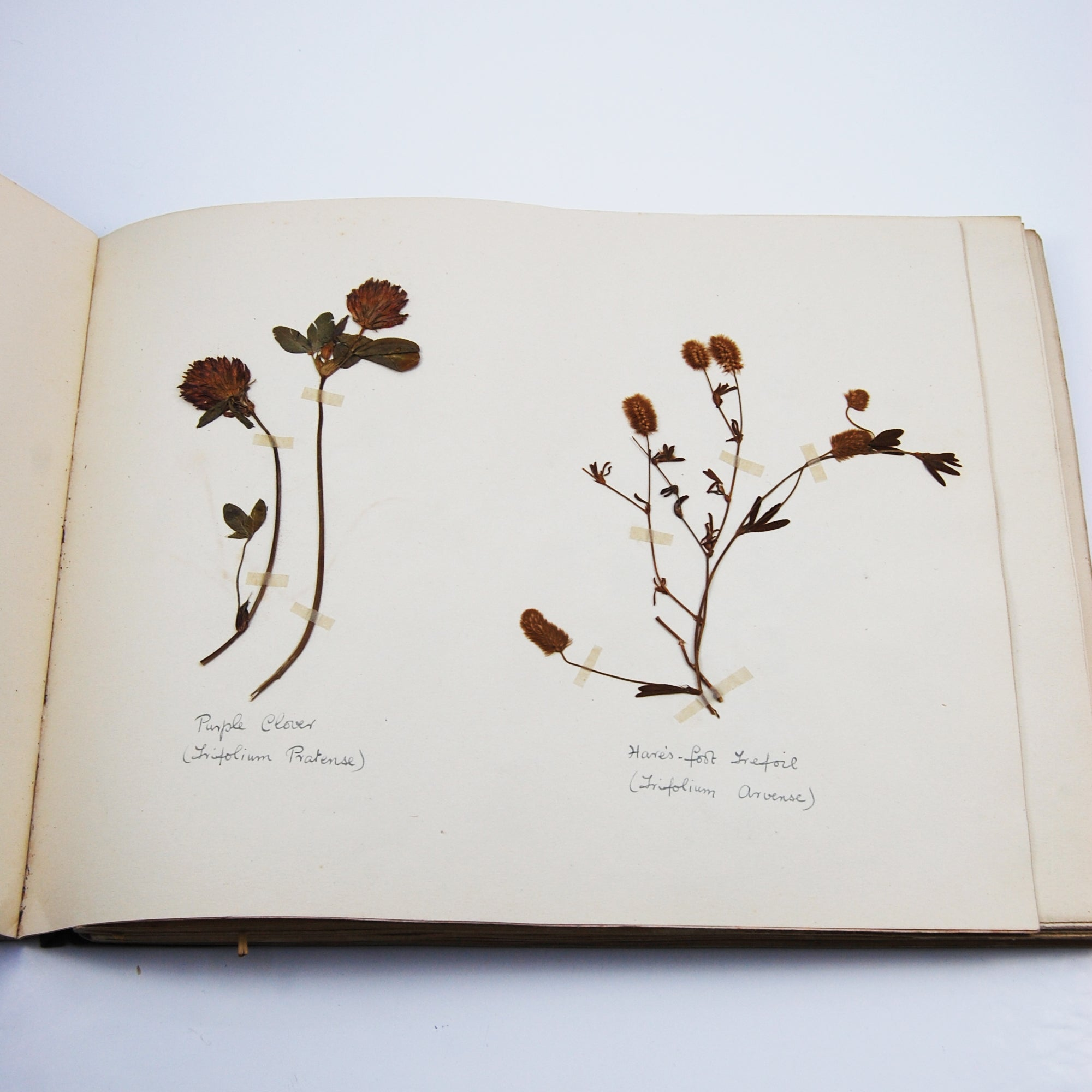A Lovely 1930s Herbarium of British Plants