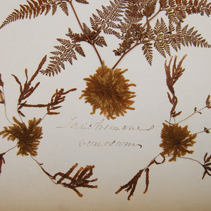 Armstrong, C. C. [Mary Ann] | New Zealand Ferns
