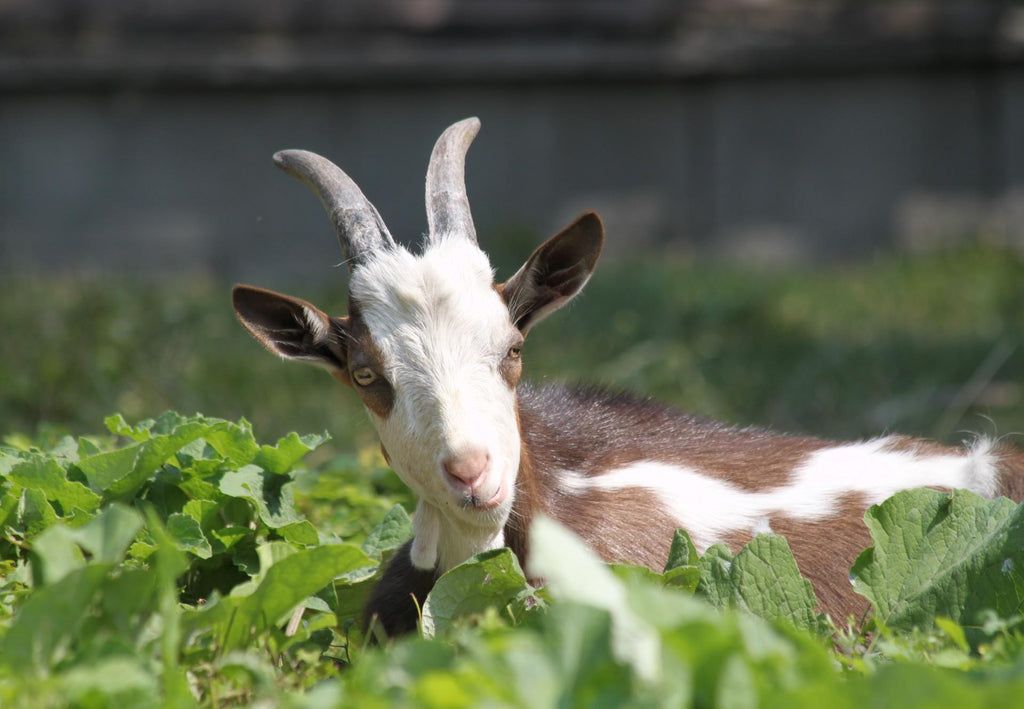 10 Amazing Facts About Goats