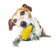 Dog chewing onToothbrush Corn Stick Chew and Bite Toy