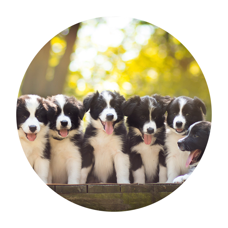 Collie Puppies