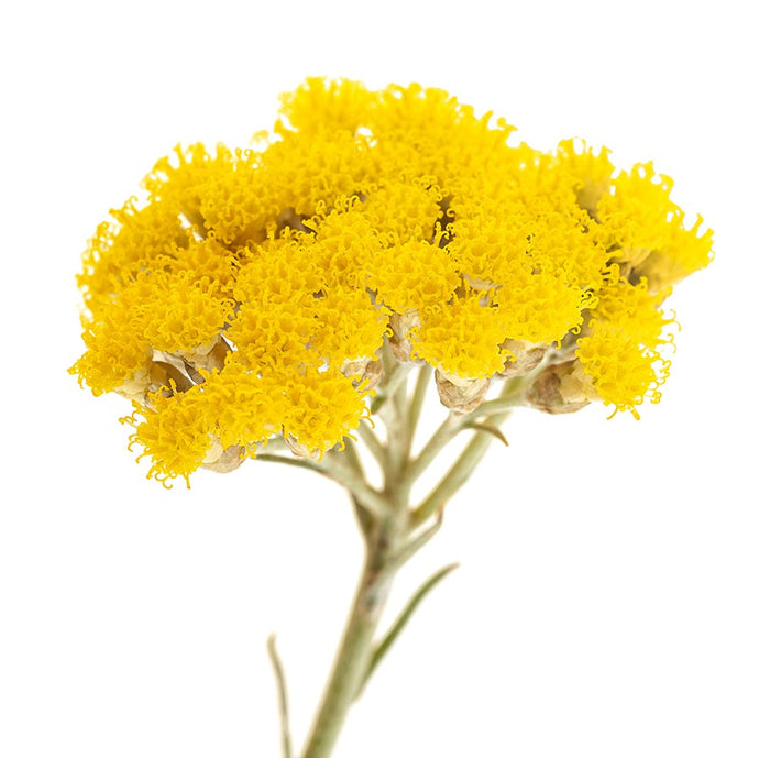 The Power of Immortelle