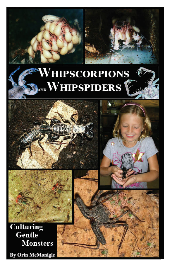 Whipscorpions and Whipspiders: Culturing Gentle Giants