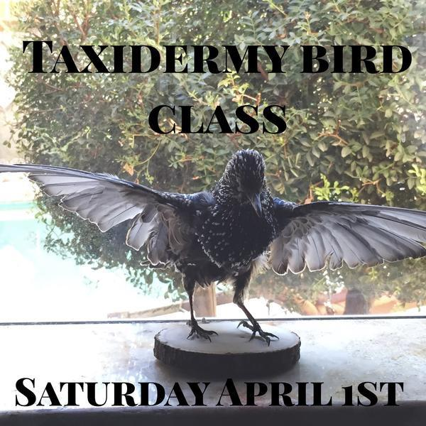 Upcoming Taxidermy Classes - Curious Nature