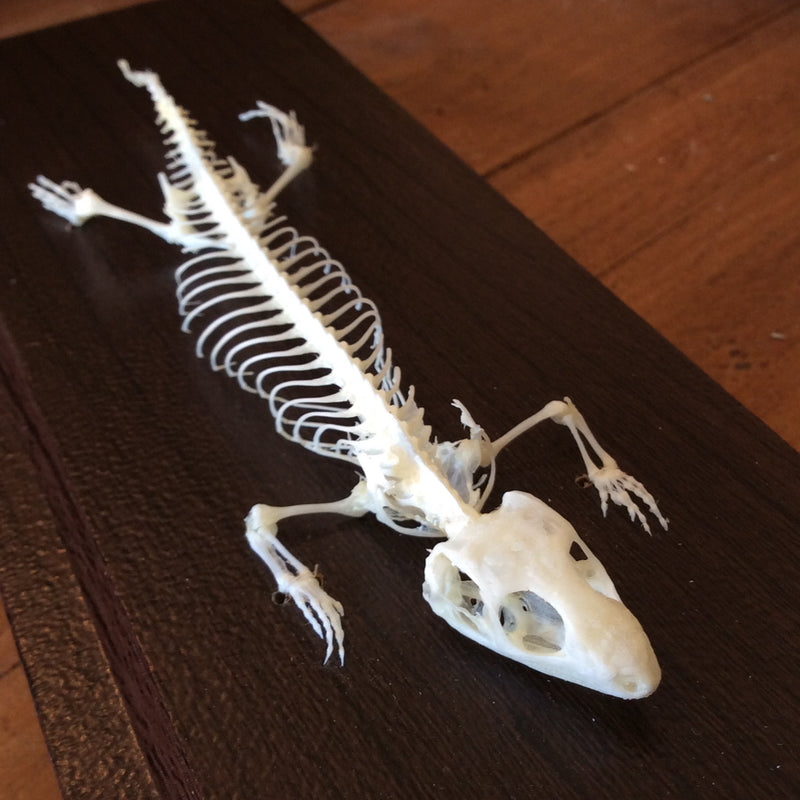 Articulated Lizard Skeleton - Curious Nature