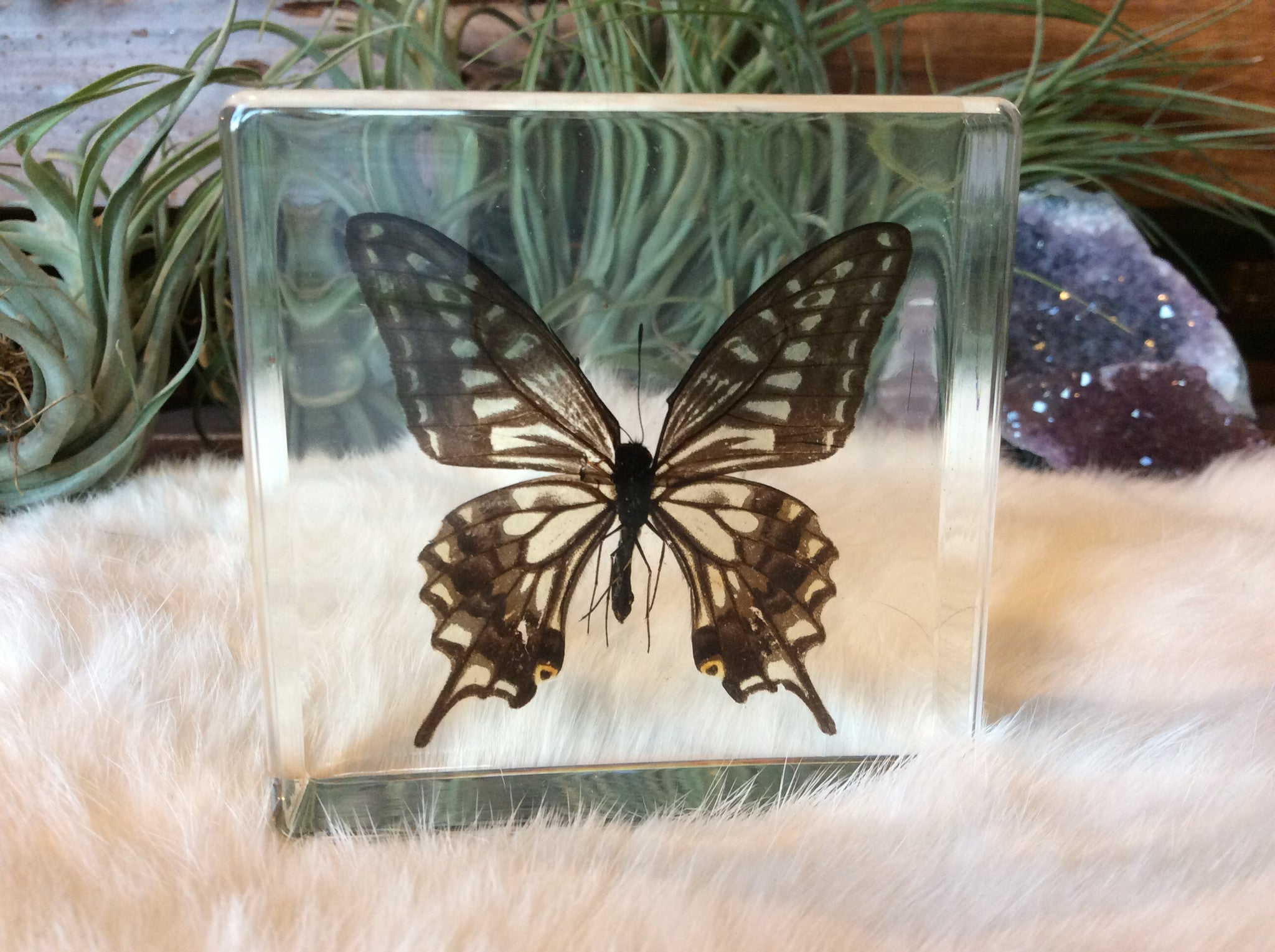Butterfly (Five-Bar Swordtail) Paperweight