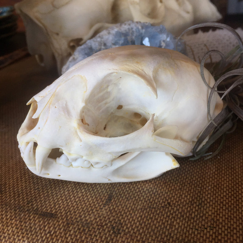 Bobcat Skull - Curious Nature