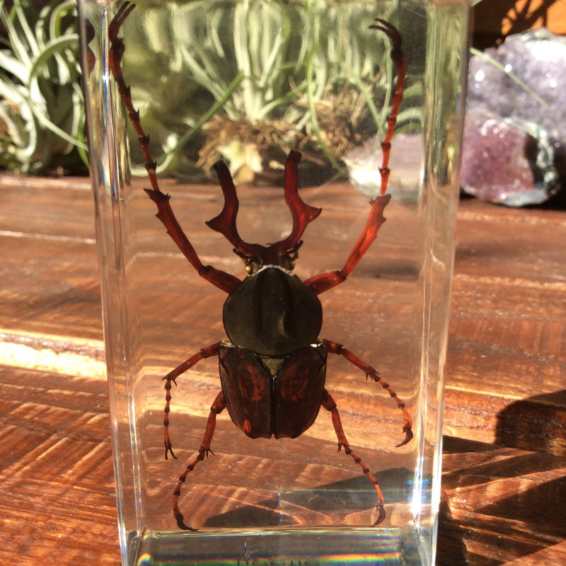 Antler Horned  Beetle Paperweight - Curious Nature
