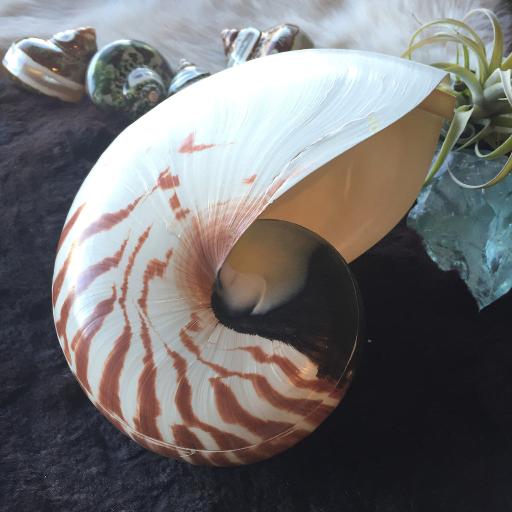 "Center Cut Nautilus Set 6"" to 7"""