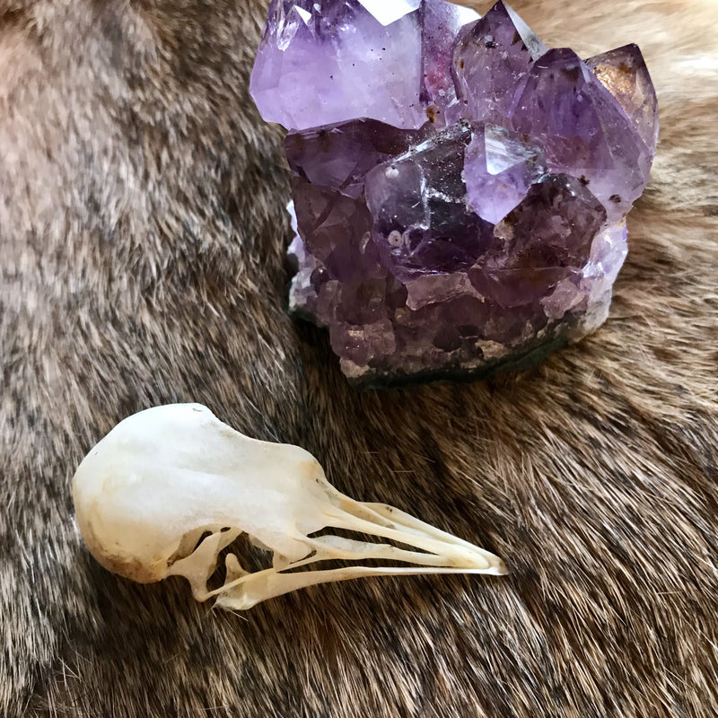 Pigeon Skull - Curious Nature