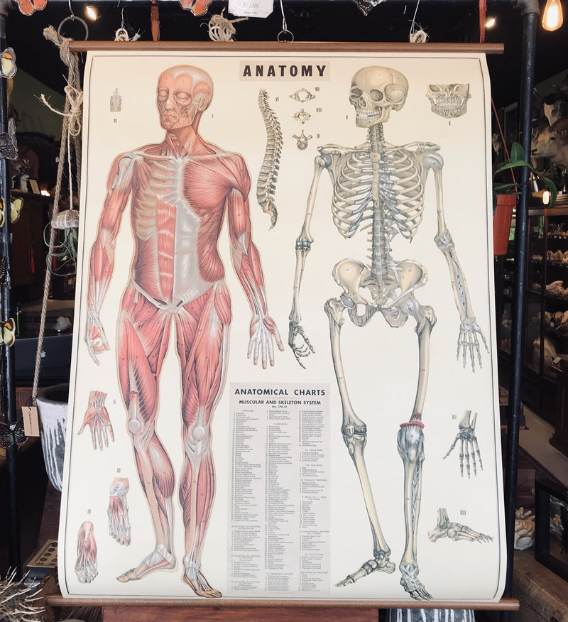 Vintage School Chart- Anatomy - Curious Nature