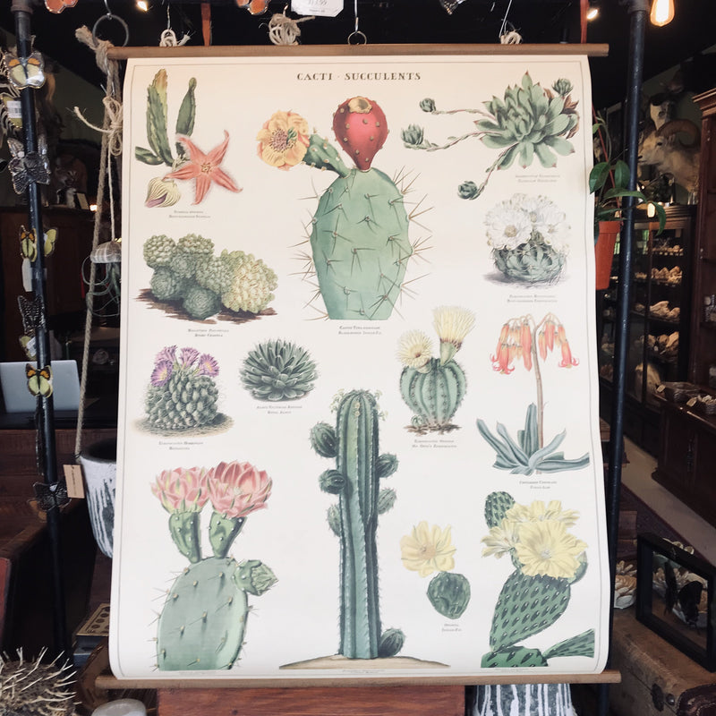 Vintage School Chart- Succulents - Curious Nature