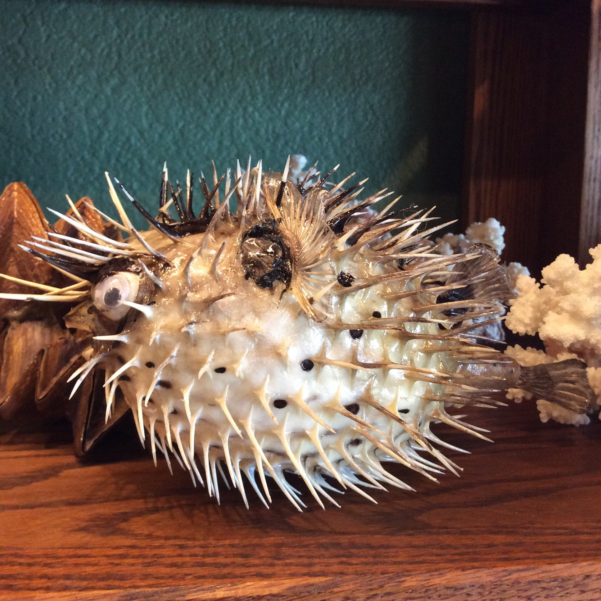 Taxidermy Porcupine Pufferfish