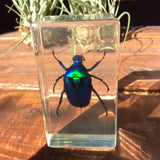 Green Chafer Beetle Paperweight