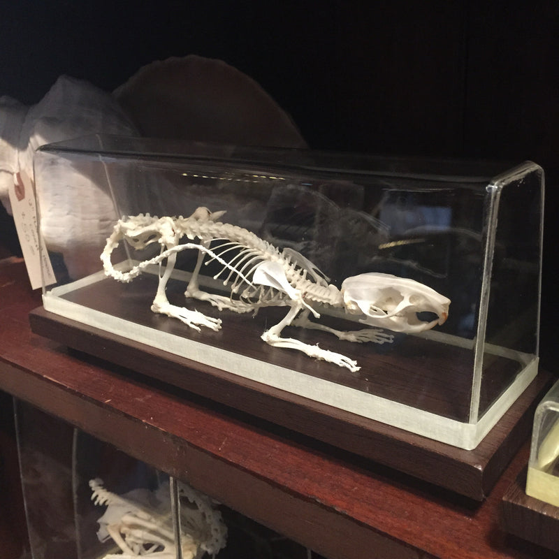 Articulated Rat Skeleton - Curious Nature