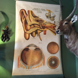 Antique Ear and Eye Systems Anatomical Chart