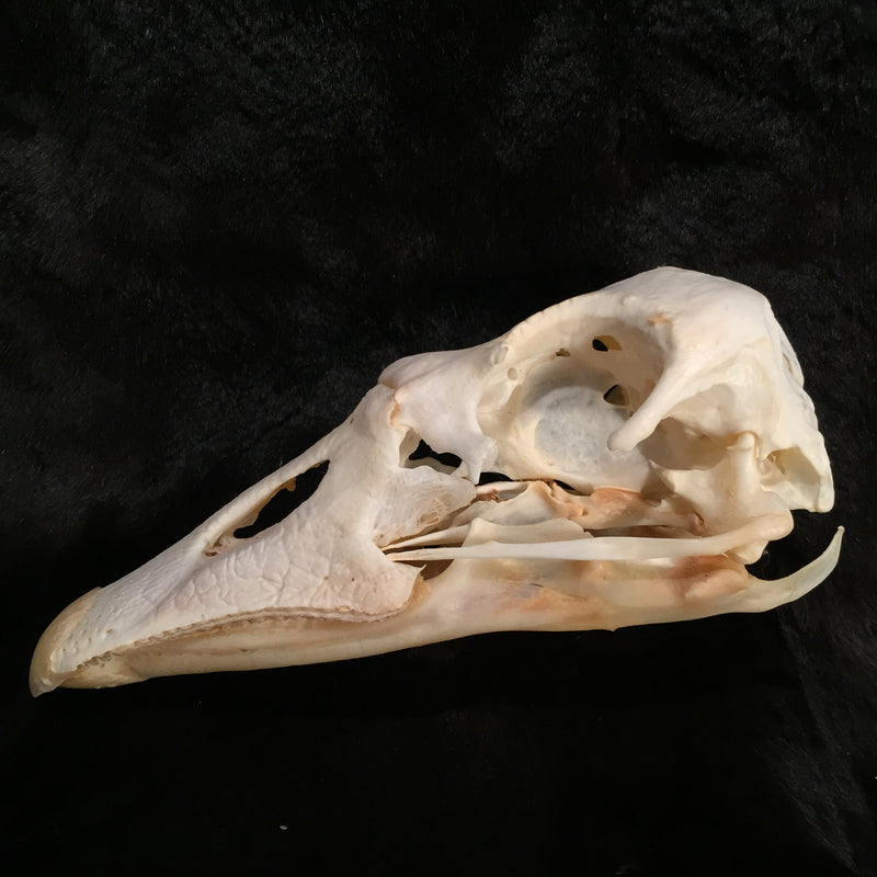 Domestic Goose Skull - Curious Nature