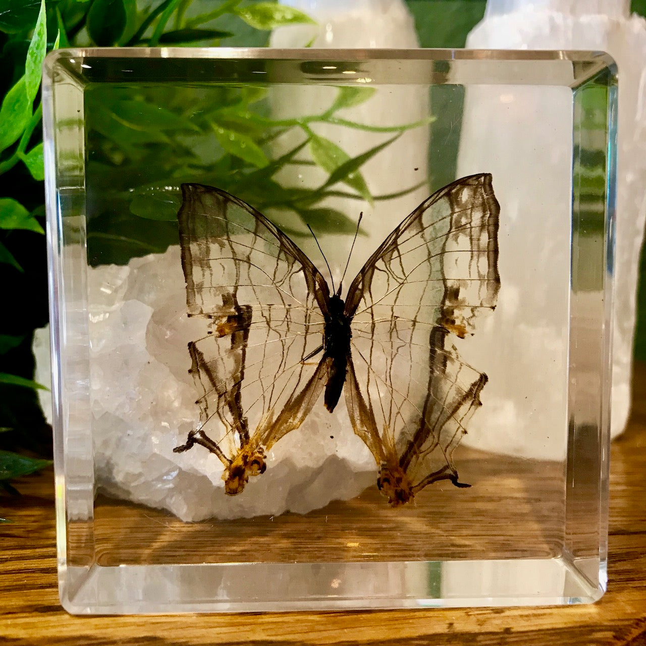 Common Mapwing Butterfly Paperweight