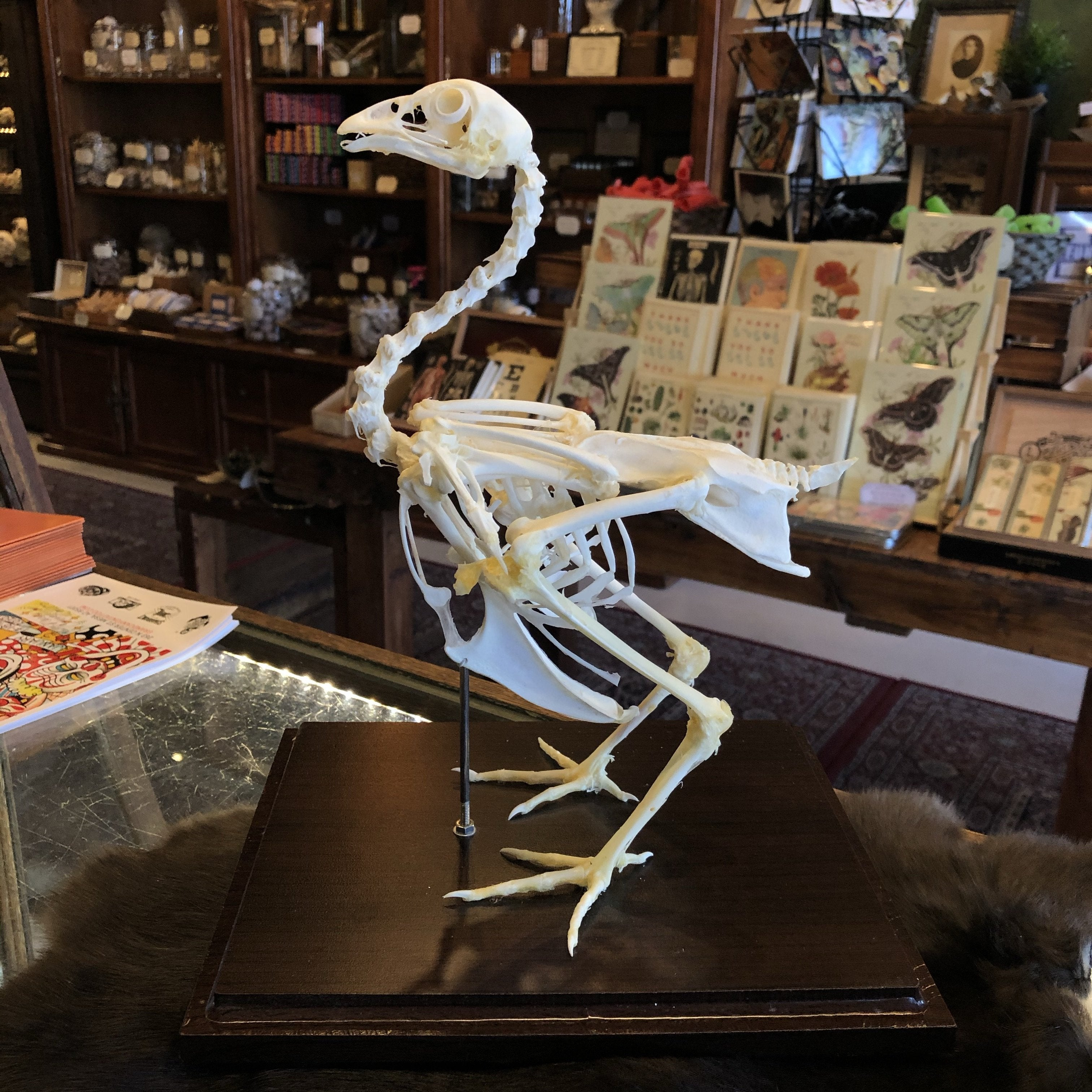 Chicken Skeleton in Acrylic Case