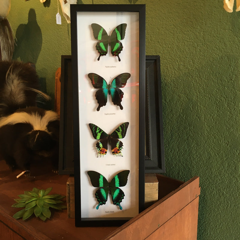 Framed Four Assorted Butterflies and Moth