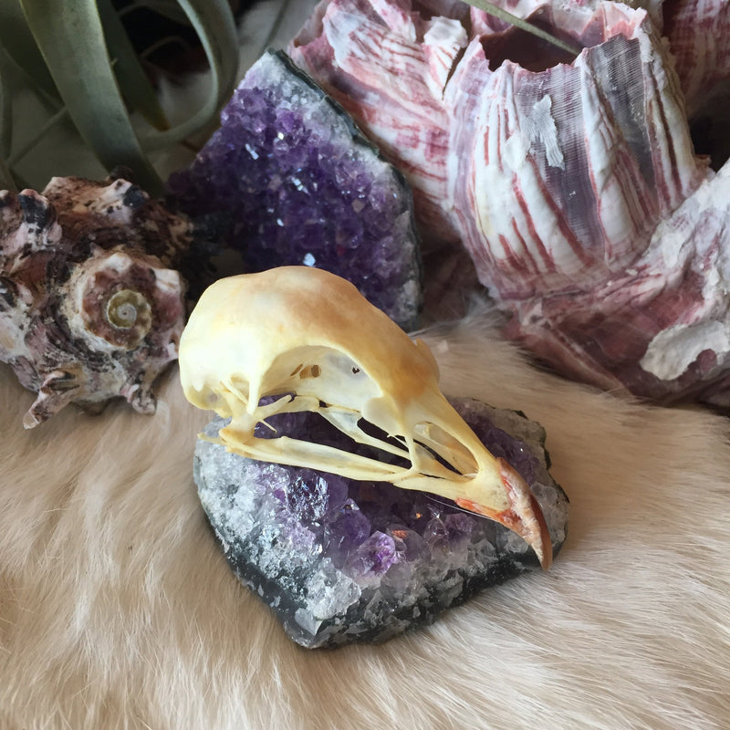 Chukar Partridge Skull - Curious Nature