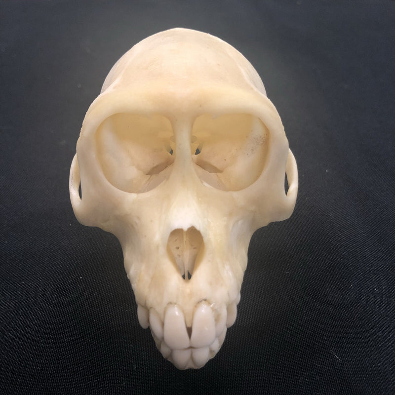 Crab Eating Macaque Monkey Skull - Curious Nature