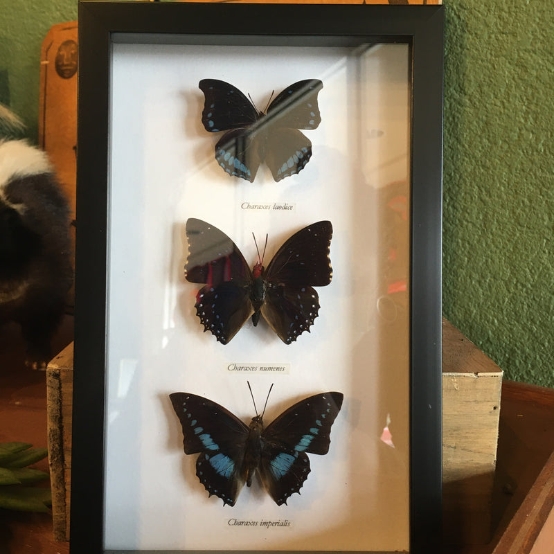 Three Framed Black and Blue Butterflies