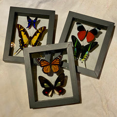 2 Framed Double Glass Butterflies