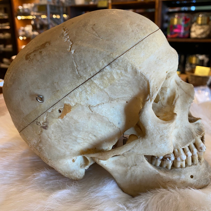 Authentic Human Skull