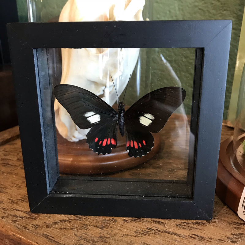 Framed Parides Butterflies - Curious Nature