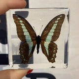 Common Blue Bottle Butterfly Paperweight