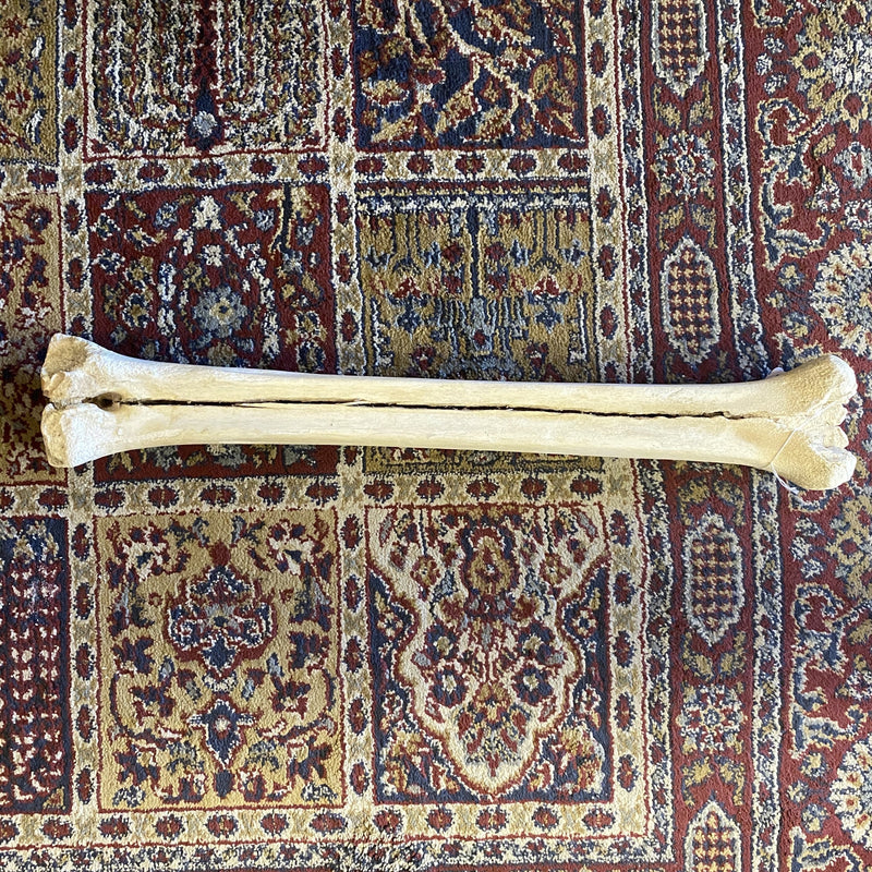"19"" Giraffe Metacarpal Leg Bone - Curious Nature"