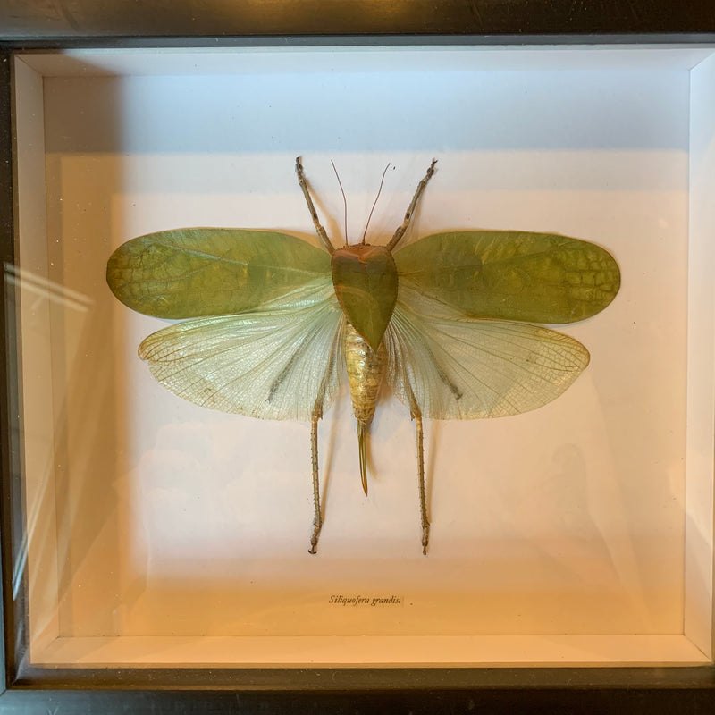 Framed Giant Grasshopper