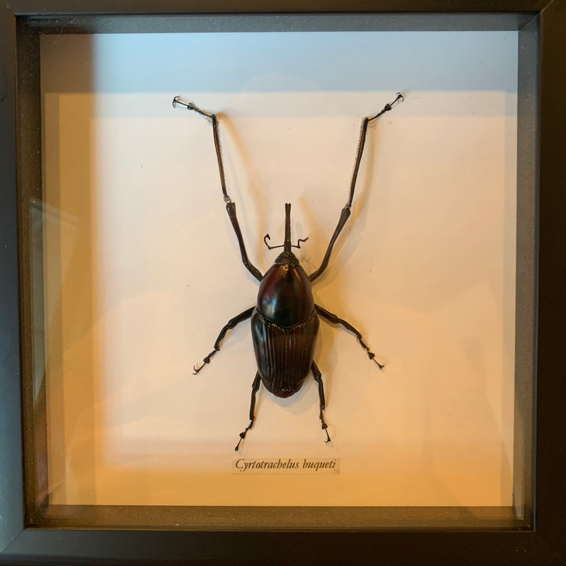 Framed Large Weevil