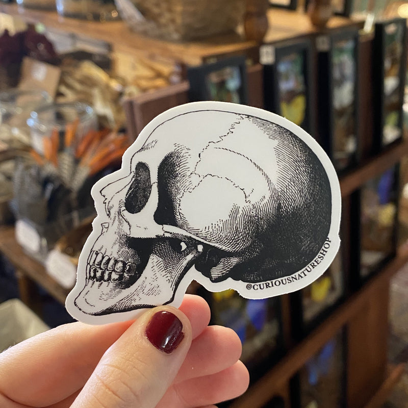 Human Skull Sticker - Curious Nature