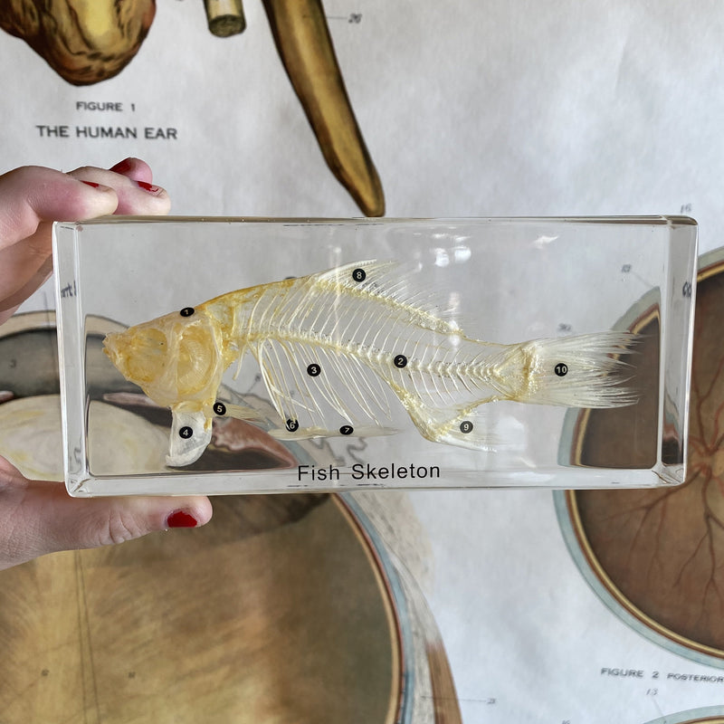 Fish Skeleton Paperweight - Curious Nature