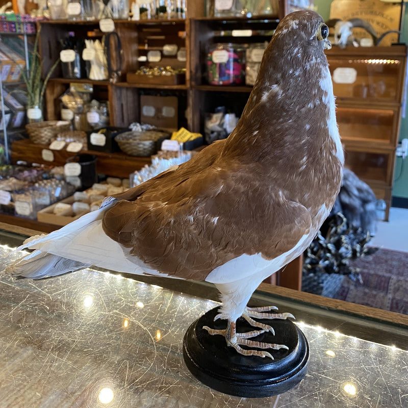 Brown and White Taxidermy Pigeon - Curious Nature