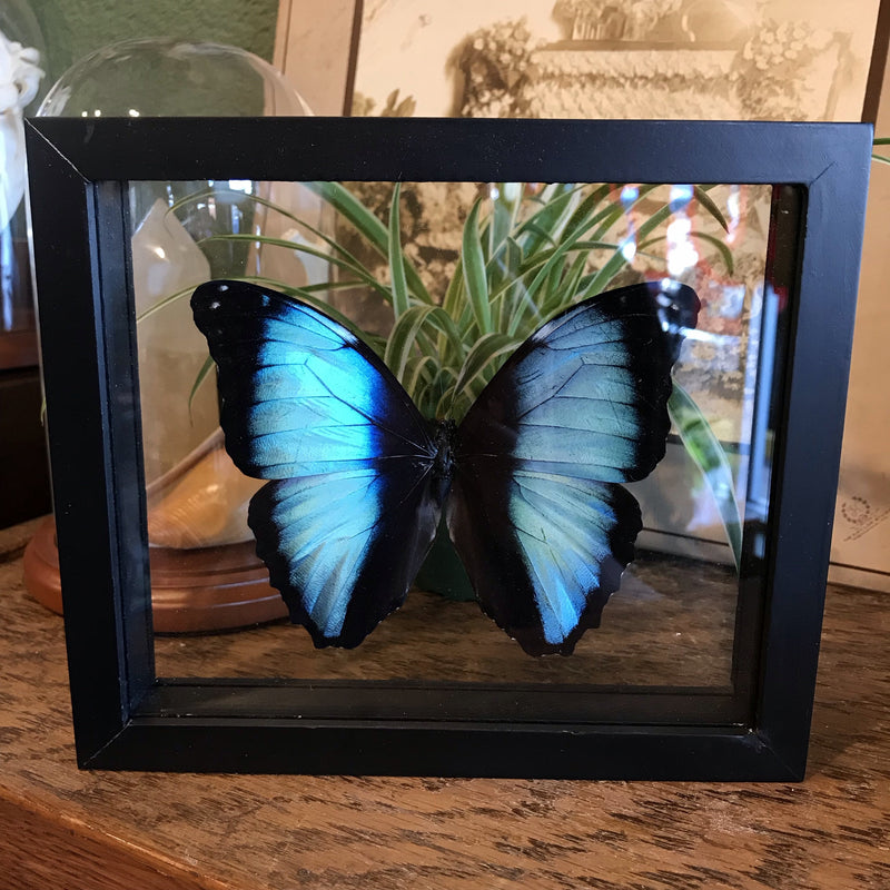 Mounted Morpho Deidamia Butterfly - Curious Nature