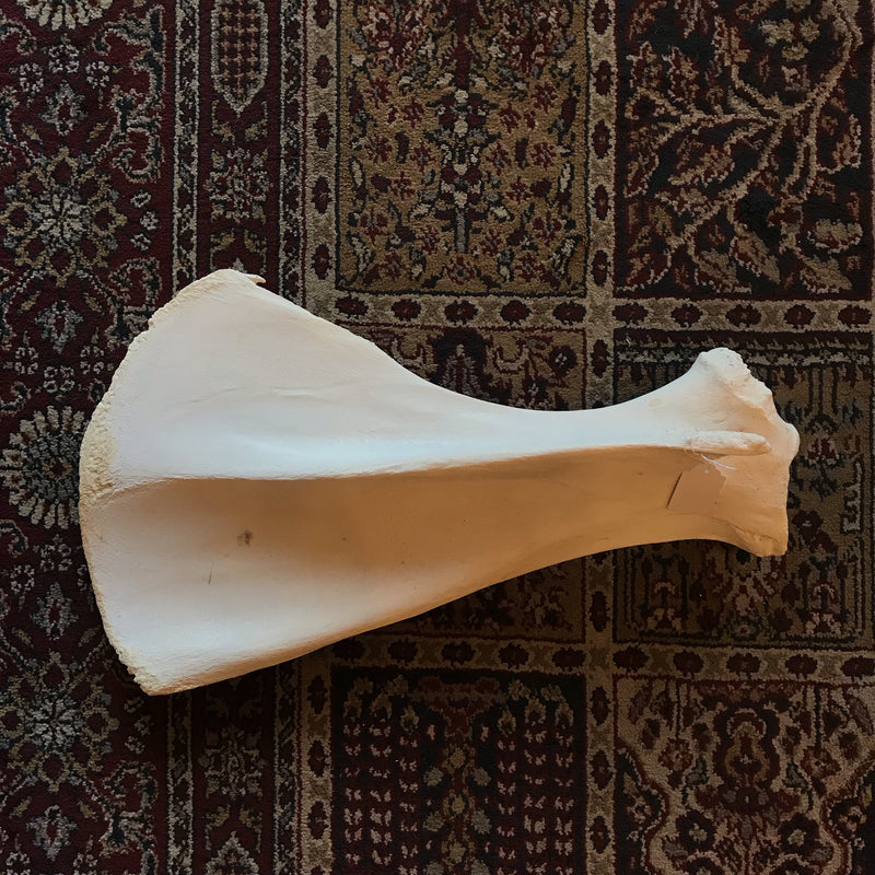 Camel Scapula Shoulder Blade - Curious Nature