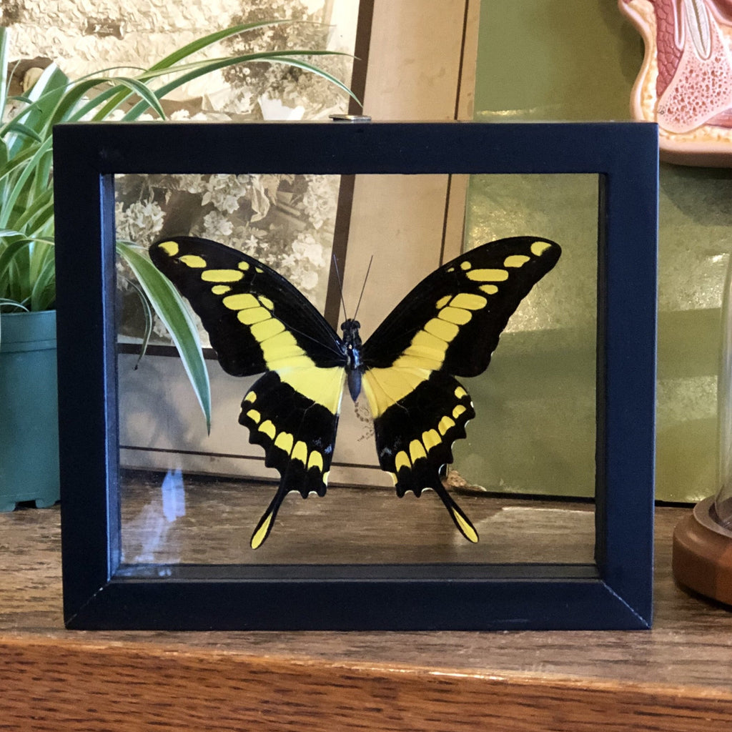 Mounted Large Yellow and Black Butterfly