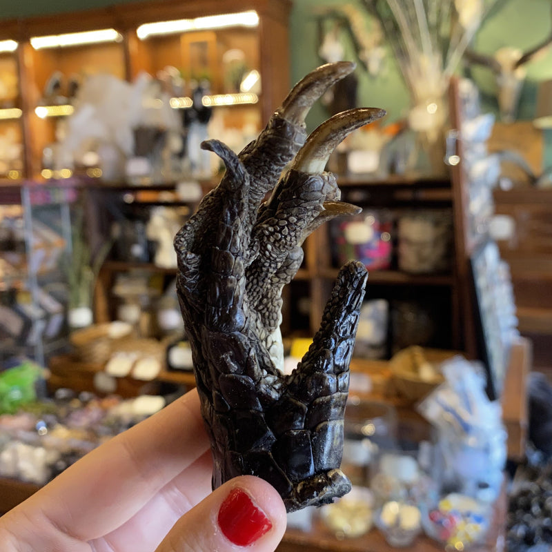 Alligator Foot - Curious Nature