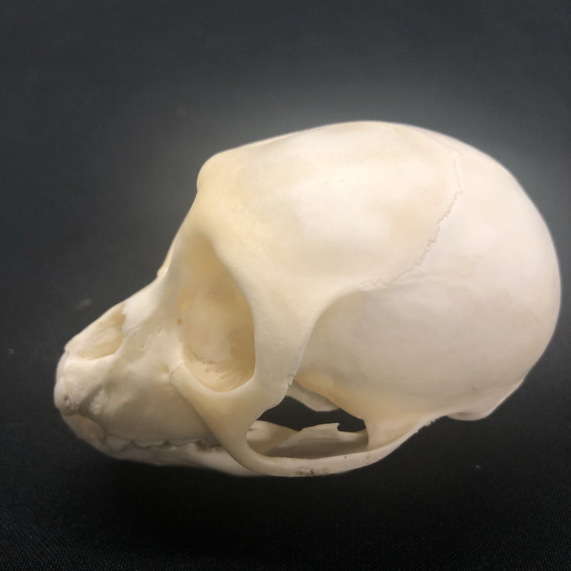 Juvenile Crab Eating Macaque Monkey Skull - Curious Nature
