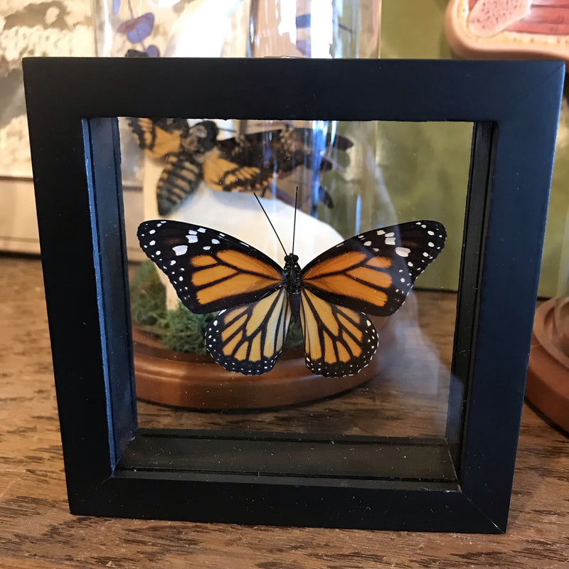 Framed Monarch Butterfly - Curious Nature