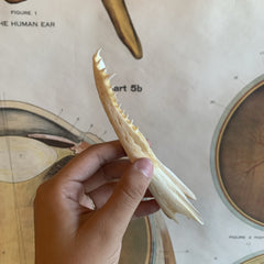 Alligator Jawbone