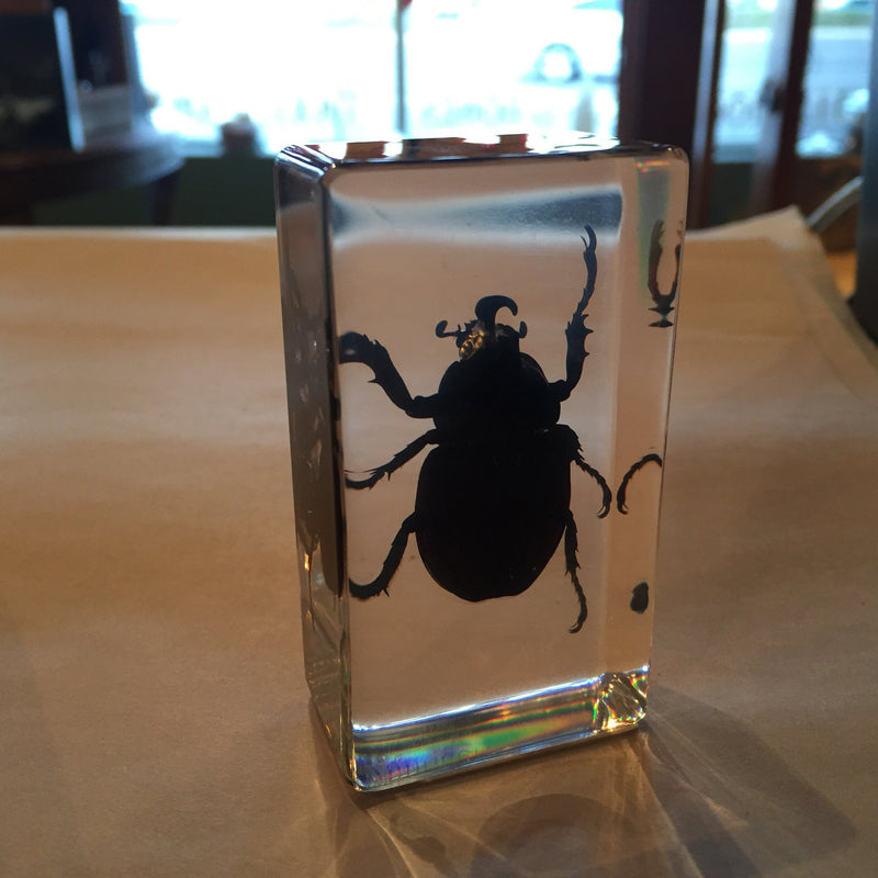 Medium Rhinoceros Beetle Paperweight - Curious Nature