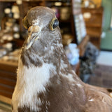 Brown and White Taxidermy Pigeon