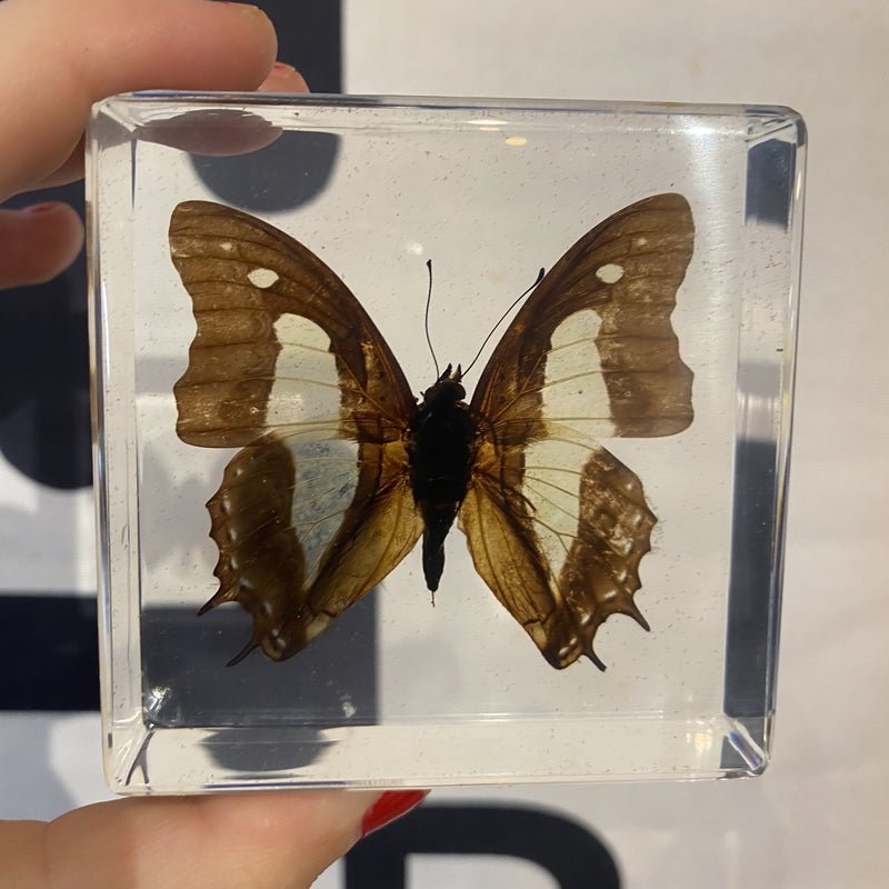 Common Nawab Butterfly Paperweight - Curious Nature