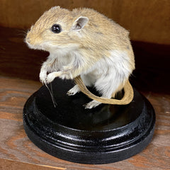 Taxidermy Gerbils
